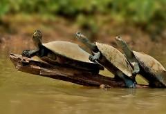 Три черепахи на бревне на пруду