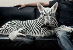 Зебра-собака креативные обои