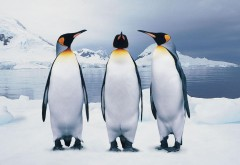 Три пингвина обои скачать