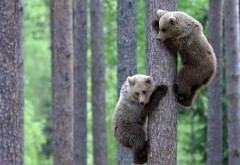 Два бурых медвежонка на дереве обои