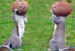 Обои двух смешных белок с кокосами на голове