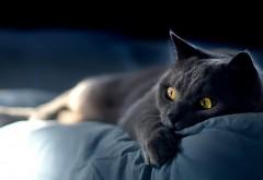 Дымчатый кот с большими глазами на рабочий стол