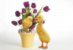 Желтая утка и цыпленок на фоне тюльпанов в горшке