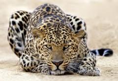 Большая кошка картинки, леопард обои скачать бесплатно