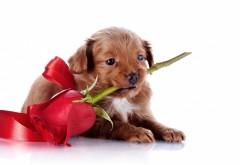 Милый щенок с красной розой в зубах к празднику обои