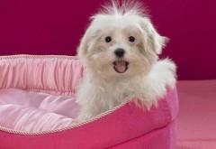 Пушистая собачка с хохолком на розовой кроватке обои