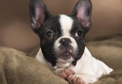 Бостон-терьер (Boston Terrier) обои собаки