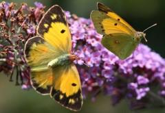 Красивые желтые бабочки на цветах, обои насекомых