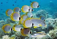 Полосатая рыба-бабочка Бали Индонезия