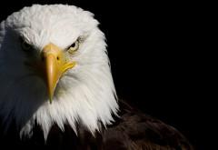 Орёл в профиль HD фото обои