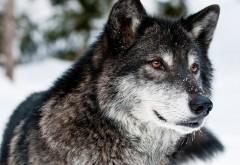 Обои дикого волка в лесу