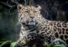 Дикий ягуар обои диких животных