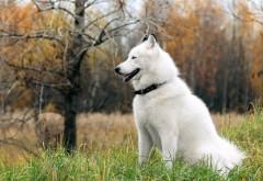 Северная собачка хаски обои