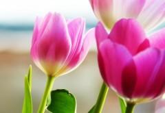 Весенние тюльпаны розового цвета