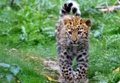 Обои котенок, леопард, пятна, пушистый, кошки
