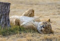 Заповедник, львица, кошка, сон, hd, фоны, картинки