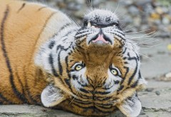 Картинки тигра скачать бесплатно