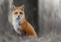 Обои рыжей лисы