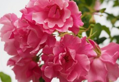 Фото розовых цветов