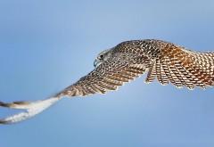 Летящий ястреб в голубом небе
