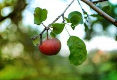 Красное яблоко спеет на дереве
