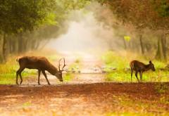 Два оленя в лесу животные