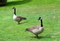 Утки на траве