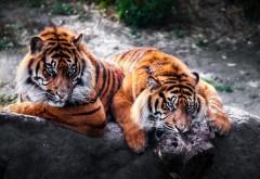 Дикие тигры