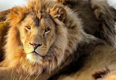 Дикий хищник львы