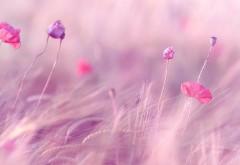 1920x1200, Розово фиолетовые цветы в поле