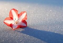 Азалия снежный цветок