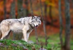 Одинокий волк обои