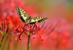 1920x1200, Желтая бабочка на красном цветке