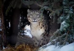 Леопард, хищная кошка