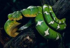Огромная змея на дереве