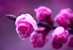 Розовые розы макро картинки