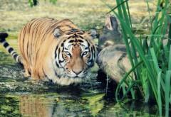 Широкоформатные обои тигра на охоте