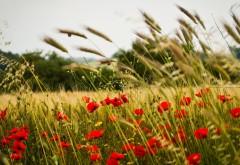 Поле с колосьями пшеницы и цветками мака широкоформат�…