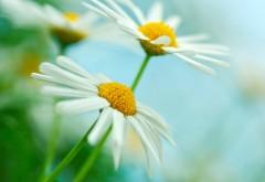 Ромашка цветок картинки на рабочий стол