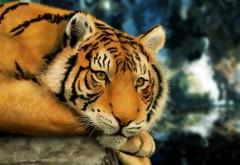 Тигр широкоформатные обои на рабочий стол