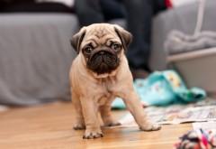 2560x1600,  Маленький наивный щенок мопса