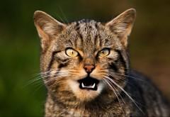 2560x1600, Агрессивная полосатая кошка обои