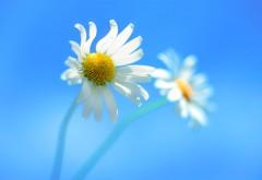 Windows 8 цветы ромашки широкоформатные обои скачать