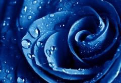 Красивая голубая роза макро обои
