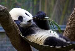 Прикольная панда отдыхает и кушает бамбук