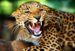 Дикий леопард скачать картинки на рабочий стол