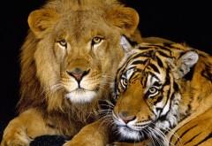 Тирг и лев обои