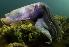 Каракатица фото