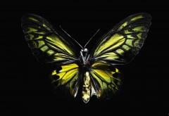 Бабочка фото обои на черном фоне