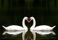 Прелестные белые лебеди в виде сердца